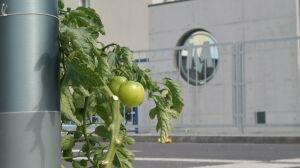 Tuż przy stacji metra wyrósł krzak pomidora