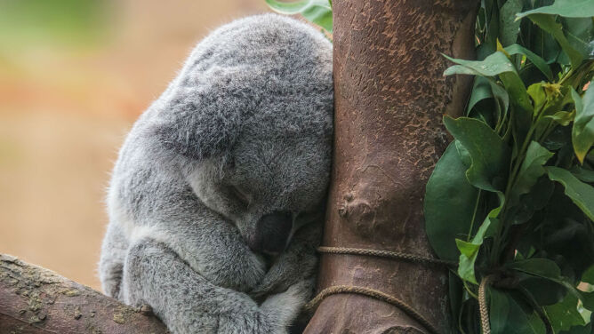 Masakra koali w Australii.<br />W tajemnicy uśpiono 700 osobników